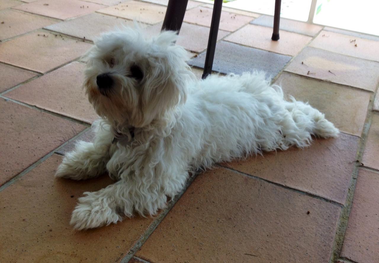 Ipsy, bichon maltais de 7 mois